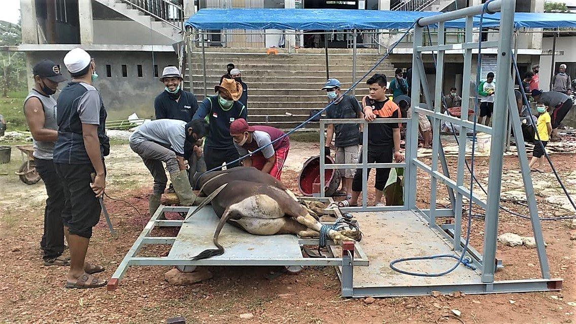 Pemotongan sapi dengan alat perobohan sehingga tidak menyulitkan pemotongan hewan kurban. Foto: LINES